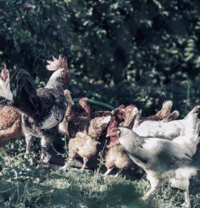 fahrbarer hühnerstall