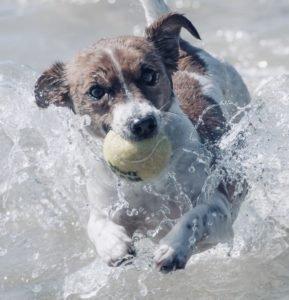 tennisball hund