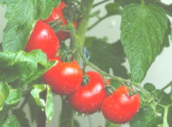 bio qualität tomaten